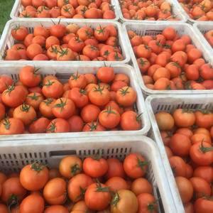 大量硬果西红柿马上上市,量大质优,有宽敞场地代收,专业人...