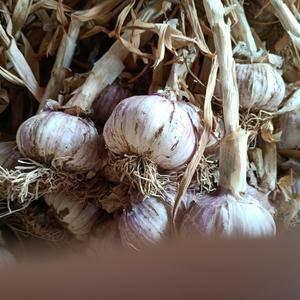 聊城紫皮大蒜大量供应!发市场!做蒜种!庫存都可以!把子蒜...