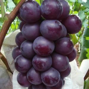山东金乡藤稔葡萄大量上市,果子品相好,质量好。欢迎各位老...