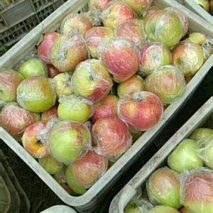 【18653912855微信同号】山东苹果陆续上市,嘎啦...