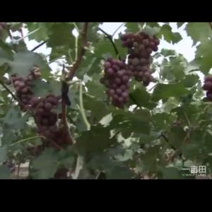 主要品种巨峰葡萄:我葡萄基地有万亩葡萄8月份左右成熟,我...