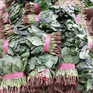 本地波菜,供应超市发往全国各地,质量第一  ,信誉第一,...