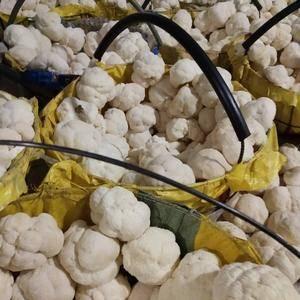 基地直销鲜品猴头菇 干品猴头菇 猴头菇粉  货源充足