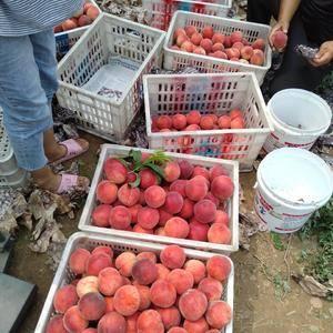 农场大量出售春雪桃,油桃。量大质优!