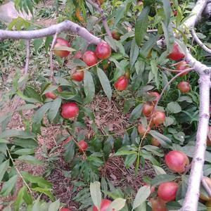 大量油桃上市了。品种多直接在农户收购155-539-99...