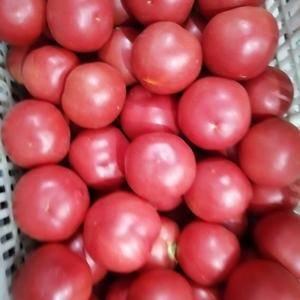 西红柿,硬粉西红柿,《600亩基地直供》,质量第一,诚信...