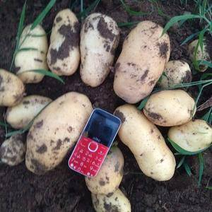 大量供应西森六号一级新鲜土豆