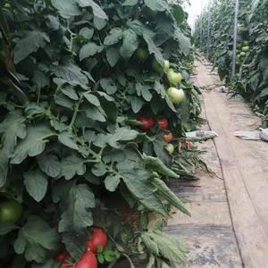 西红柿,硬粉西红柿,大量上市中,200亩基地直供。