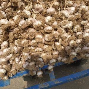 本人代办十年常年购销优质紫红皮蒜