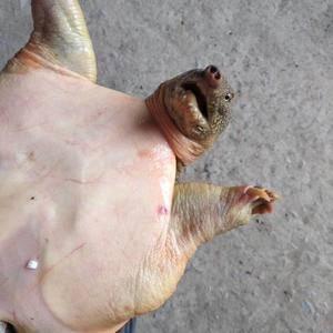 生态甲鱼,绝对外塘放养,拒绝温室苗,微w23525034...