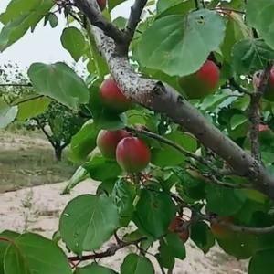 穷乡僻壤出好红梅杏,鲜红亮度,原生态种植,最高糖度达到惊...