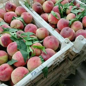 山东露天油桃大量上市了,品种有4号,126,曙光,毛桃春...