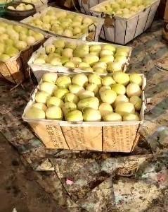 东北吉林白城香瓜销售中  香瓜口感甜  个头均匀  瓜型...