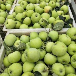 青苹果,藤木