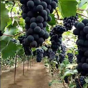 大量巨丰葡萄粒大色黑有要的老板联系我
