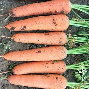 三红胡萝卜带土、水洗的都有!13869690035
