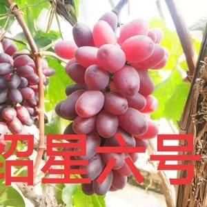 云朋葡萄苗繁育专业合作社,现在接受预定2018年10月份...