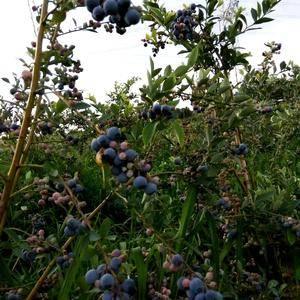 露天灿烂,奥尼尔蓝莓大量上市,一百斤起批,有大果,中果,...