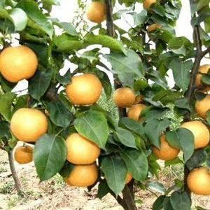 晚秋黄梨采摘园种植基地,目前村里有350亩种植户,欢迎大...