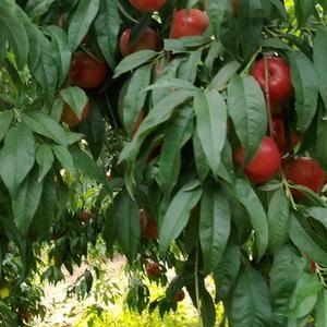 鲁星油桃,全红肉质果耐运输。净树一元左右,有需要的联系呦...
