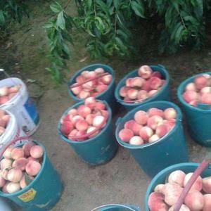 山东油桃毛桃现已大量上市,品种齐全,价格不高,质量品质口...