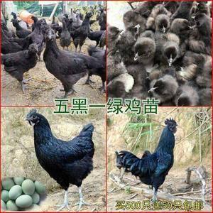 慧农禽业批发常年批发,鸡苗,蛋鸡,火鸡苗