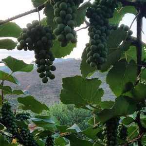 贵州高山二号葡萄