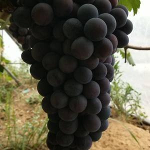 京亚葡萄,腾仁葡萄,夏黑葡萄大量上市口感超棒,想要的抓紧...