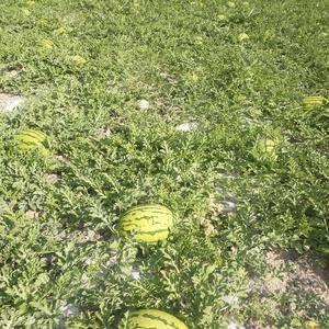 甘肃靖远高湾硒砂瓜大量上市了最小的10斤起步!平均18到...