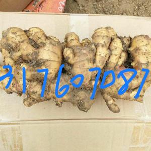 山东生姜13176070878大量供应,小黄姜,面姜,大...