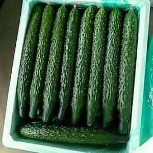 黄瓜已快上市,需要的老板可以提前联系了。量大条好,价格美...