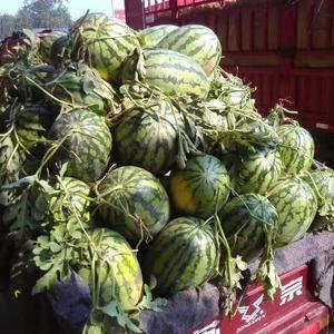 冠龙西瓜己大量上市,质优价廉。