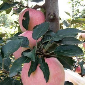 15064930999产地直销早熟美八苹果,嘎啦苹果,红...