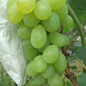 山西省运城市稷山县维多利亚葡萄大量上市。