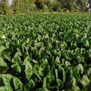 河北张家口沽源县大量菠菜有需要的老板联系我1383139...