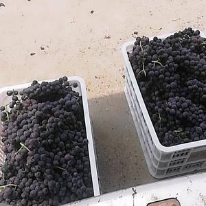 京亚,杏花王葡萄大量上市了有须要的干快连系