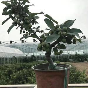盆栽苹果大量有货