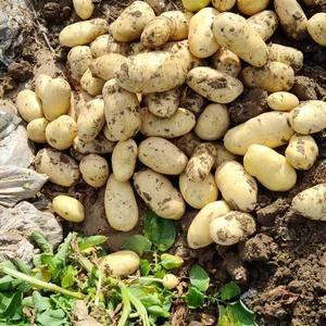 滕州冷库土豆大量供应,各种规格齐全