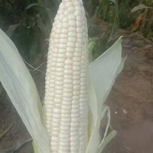 糯玉米,万糯2000有要的联系