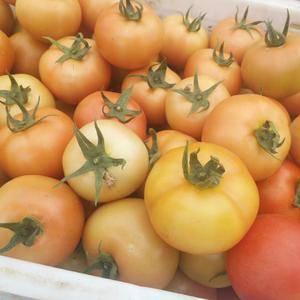 内蒙古赤峰市喀喇沁旗西红柿大红硬粉主产地,品质好,耐运输...