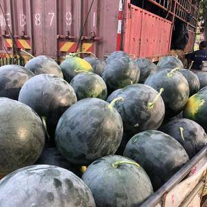 100万斤西瓜大量上市,黑无籽,圆花花,长花瓜,8斤起步...