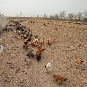 出售散养珍珠鸡,不喂饲料的 13303508785