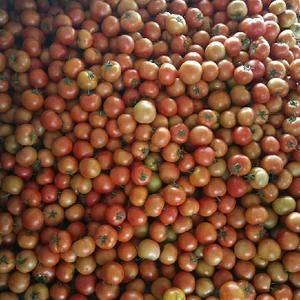 大量大红西红柿上市    请客户前来选购