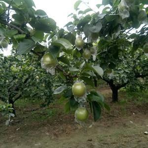 皇冠梨现已成熟上市口感脆甜,果面干净货源充足。
