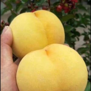 优质黄桃,可以入您的口了!