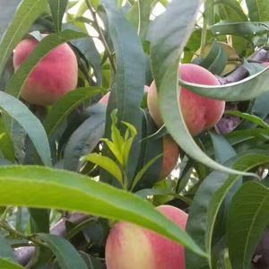 山东,淄博,池上鲜桃大量上市,品种早生,红桃,离核油桃,...
