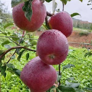 云南昭通苹果