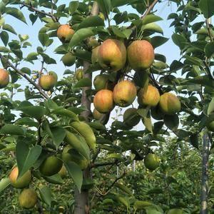 我们沧州是金丝小枣,和梨的主产区,品种有,皇冠梨,黄金梨...