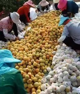 大量锦绣黄桃现货上市!一条龙服务,个头大,口感甜蜜!