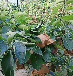 大量供应圆黄梨,基地位于小沽河畔,土质砂土,圆黄梨早熟果...